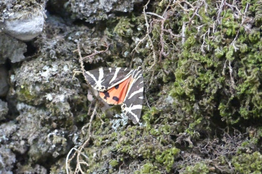 Jersey Tiger Moth, Petaloudes