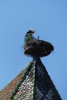 Stalks nesting, Colmar