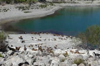 A shepherd waters his herd at Apolakia Dam