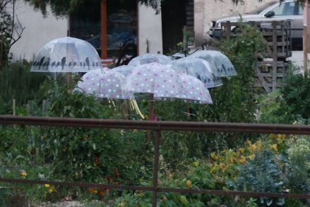 Kaysersberg - how to stop your tomatoes getting blight