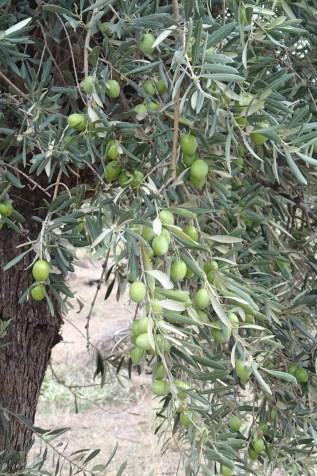 Award winning mer des oliviers de Delphes olives