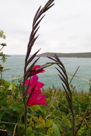Coast path flowers