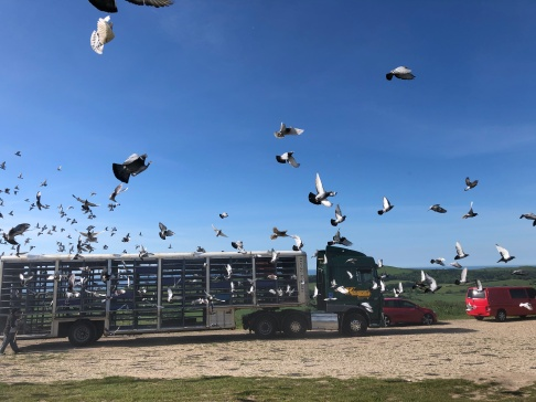 An early morning wake up - racing pigeons released over our camper