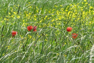 Dorset meadow