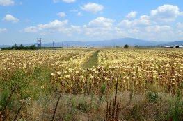 Sunflowers, Greece