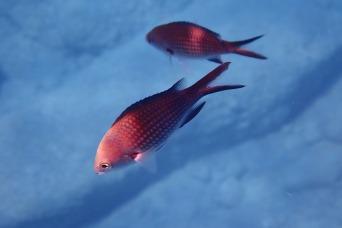 Damsel Fish, Rhodes