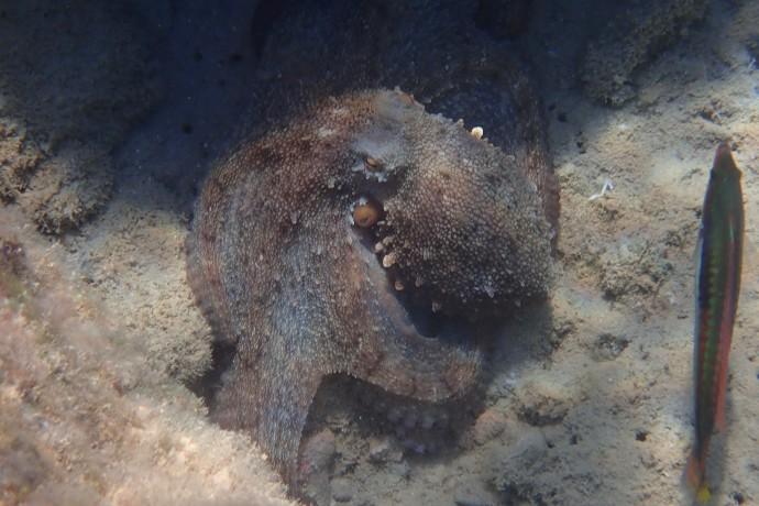 A monster octopus
