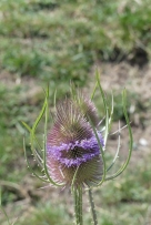 Teasel, once exclusively used to remove impurities and raise the nap of woolen fabrics