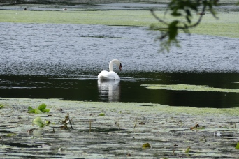 The swan lake at Culzean Castle